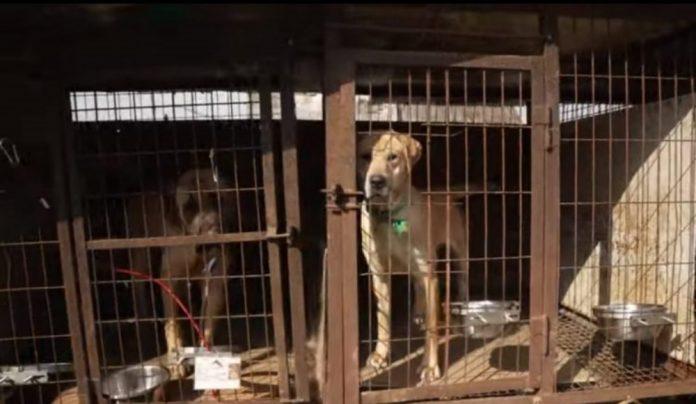 cão resgatado abatedouro - capa