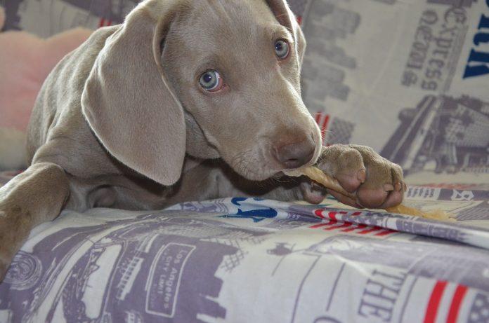 couro cru para cães - capa